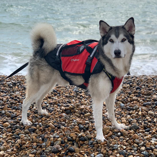 Crewsaver Pet Float on Husky Dog